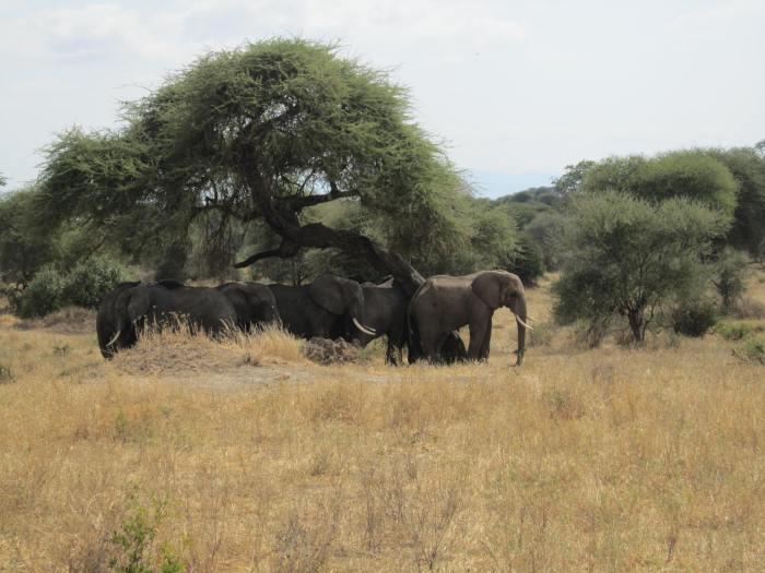Elephants chillin under a tree