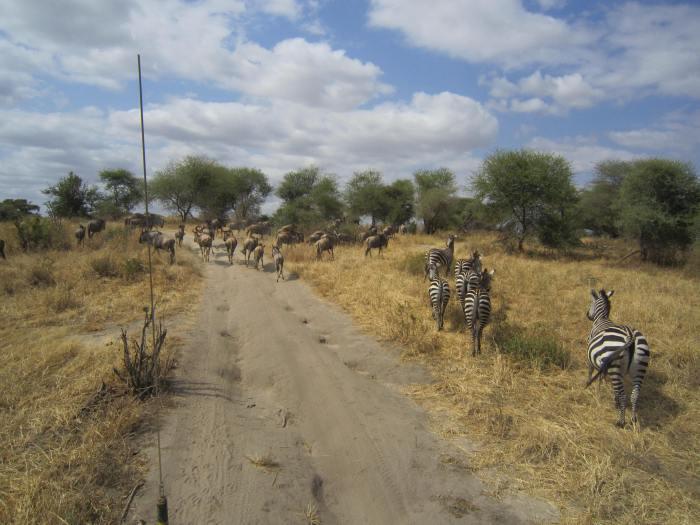 Zebras and gnus in Tarangire National Park