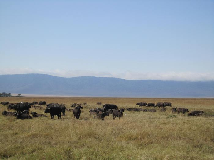 Buffaloes chilling in the sun