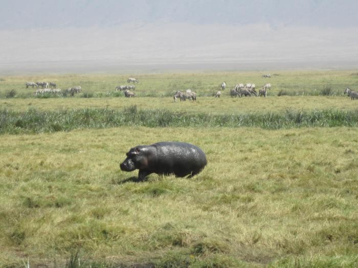 Hippo on the run!