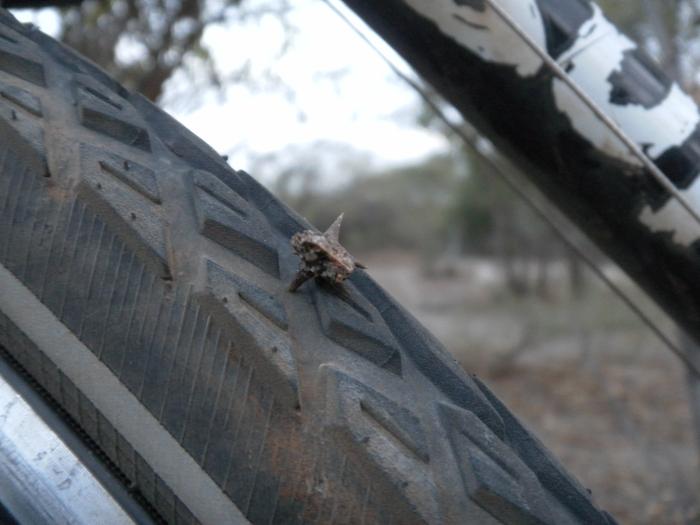Biker-unfriendly thorns