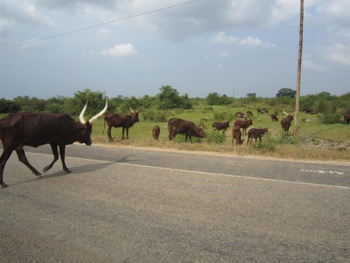 Ugandan cows